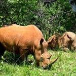 Badang Bercula Satu di Obyek Wisata Taman Nasional Ujung Kulon