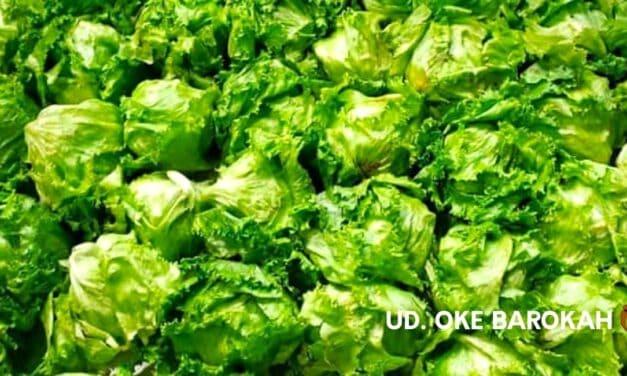 Jual Sayuran Lettuce (Letus) Segar – Kirim Se Jadetabek